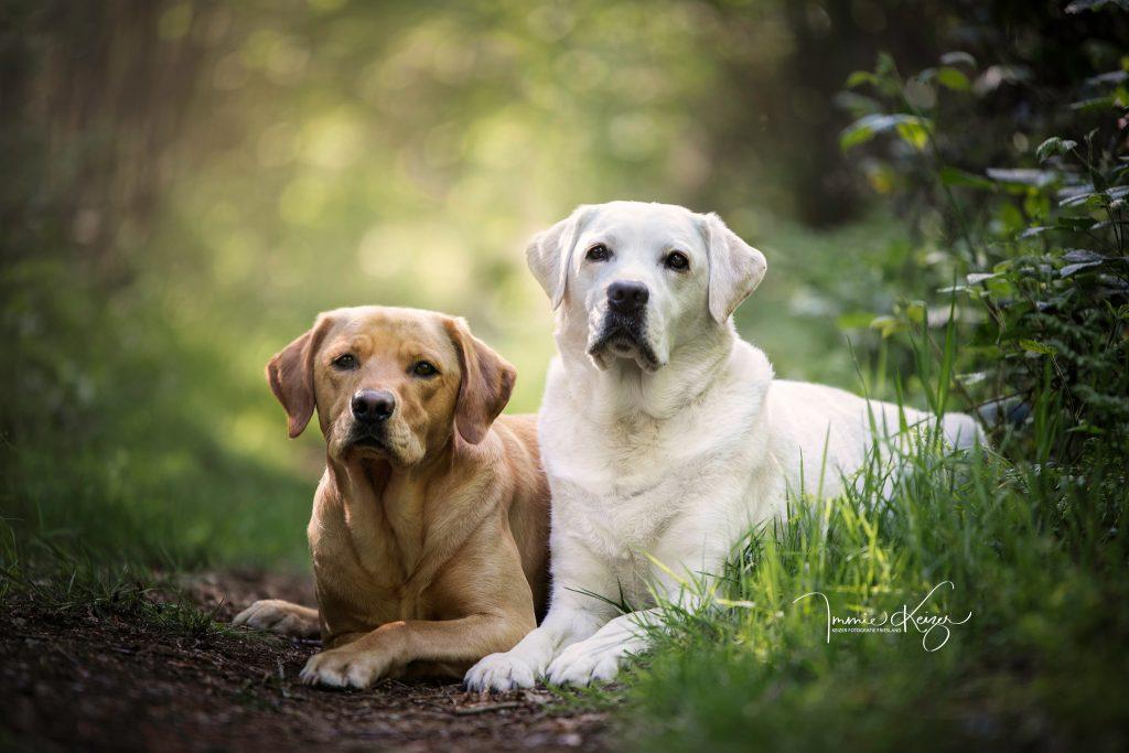hondenfotoshoot labrador duo